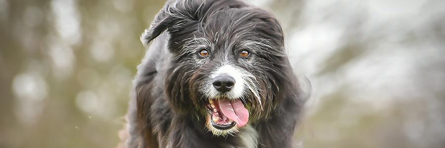 Kop van hond bruin/zwart en wit lang haar