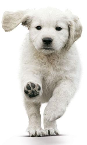 Labrador opvoeden pup